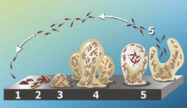 Conceptual model of the stages of P. aeruginosa biofilm development. Courtesy of MicrobeWiki