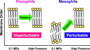 Piezophile membranes are different from regular membranes in that they maintain their structure at extremely high pressures. Credit: Abe 2013