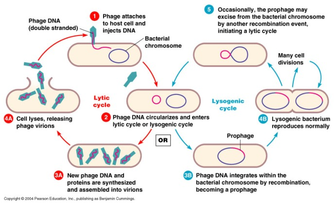Conceptual model of the two general modes of viral biology: lytic and lysogenic cycles. Credit: allbiologytutors.blogspot.com