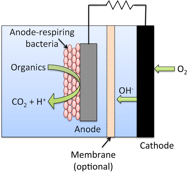 Schematic of a microbial fuel cell, in which bacteria connected to an anode digest organic matter, and release electrons that travel to a cathode, generating electric current.