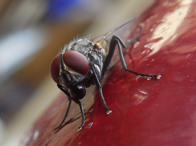 The common housefly may be more than just a nuisance: new research highlights this insect's important role in spreading antibiotic resistant bacteria.